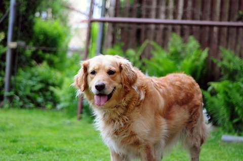 happy dog golden retriever 82760 large